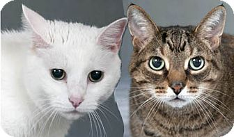 Domestic Shorthair Cat for adoption in Chicago, Illinois - Simba & Scout