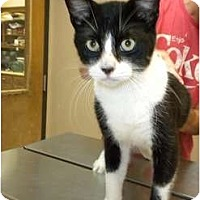 Domestic Shorthair Cat for adoption in Baton Rouge, Louisiana - Stanley