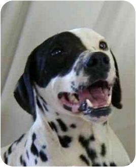 Dalmatian Dog for adoption in Steger, Illinois - Logan