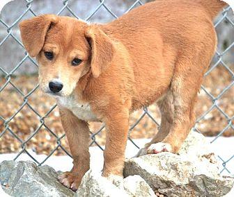 Labrador Retriever/Golden Retriever Mix Puppy for adoption in Westport, Connecticut - *Piper - PENDING