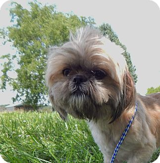 Shih Tzu Dog for adoption in Fairmount, Georgia - Yoshi