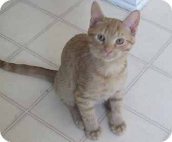 American Shorthair Kitten for adoption in Burgaw, North Carolina - Tommy