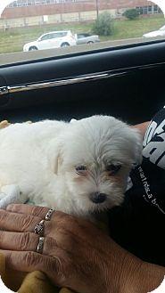 Maltese Puppy for adoption in Treton, Ontario - River(Foster Needed)