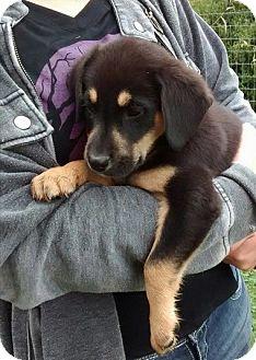 German Shepherd Dog/Labrador Retriever Mix Puppy for adoption in Florence, Kentucky - Stryder