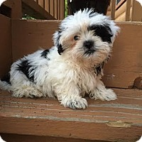 Adopt A Pet :: Loki - Algonquin, IL