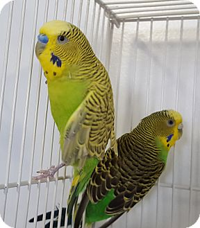 Budgie for adoption in Grandview, Missouri - Ace
