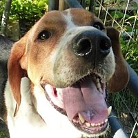 Treeing Walker Coonhound Dog for adoption in Charlottesville, Virginia - Jacob Roscoe