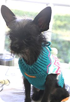 Terrier (Unknown Type, Small)/Chihuahua Mix Dog for adoption in Bedminster, New Jersey - Stella