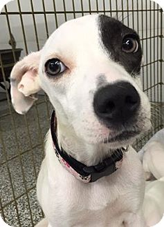 Terrier (Unknown Type, Medium) Mix Dog for adoption in Middletown, Ohio - Emma