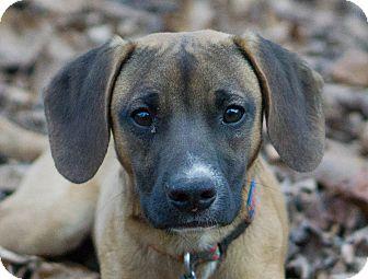 Beagle Mix Dog for adoption in Reidsville, North Carolina - Bullet