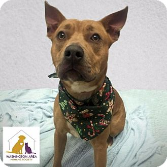 Pit Bull Terrier Mix Dog for adoption in Eighty Four, Pennsylvania - Lucy