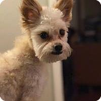 Adopt A Pet :: Draco Malfoy - Shawnee Mission, KS