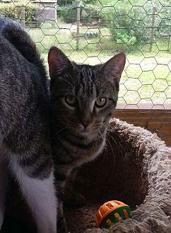 Domestic Shorthair Cat for adoption in Bronson, Florida - Jezebel