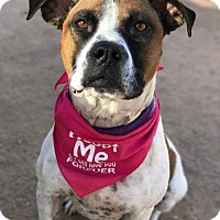 Boxer/Pit Bull Terrier Mix Dog for adoption in Tucson, Arizona - Bella