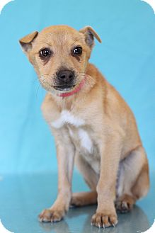 Labrador Retriever Mix Puppy for adoption in Waldorf, Maryland - Peaches