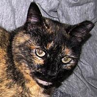 Domestic Mediumhair Cat for adoption in Asheville, North Carolina - Gidget