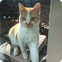 Domestic Shorthair Cat for adoption in Durham, North Carolina - Fili
