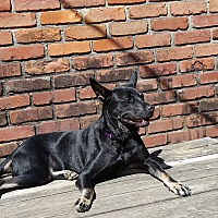 German Shepherd Dog/Labrador Retriever Mix Dog for adoption in Memphis, Tennessee - Sparkle