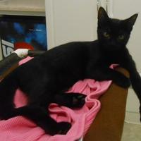 Domestic Shorthair/Domestic Shorthair Mix Cat for adoption in Carsonville, Michigan - Reuben