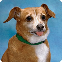 Dachshund/Chihuahua Mix Dog for adoption in Chicago, Illinois - Dulche