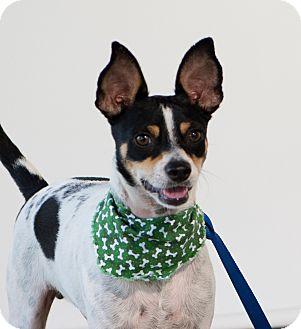 Rat Terrier Mix Dog for adoption in Edmonton, Alberta - Milo