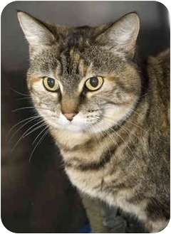 Domestic Shorthair Cat for adoption in Tangent, Oregon - Abby