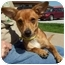 Photo 1 - Dachshund Dog for adoption in North Judson, Indiana - Chuckles