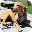 Photo 1 - Hound (Unknown Type)/Labrador Retriever Mix Puppy for adoption in Portsmouth, Rhode Island - Juliana