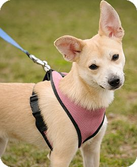 Chihuahua/Dachshund Mix Puppy for adoption in Mt. Prospect, Illinois - Bam Bi