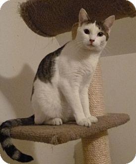 Domestic Shorthair Cat for adoption in Kensington, Maryland - Simon