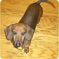 Adopt A Pet :: Brice - San Jose, CA