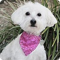 Adopt A Pet :: Cindy - North Palm Beach, FL
