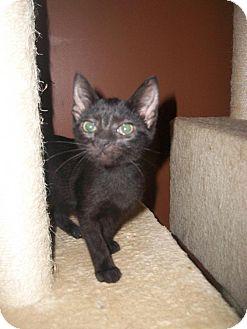 Domestic Shorthair Kitten for adoption in Hinesville, Georgia - Serenity