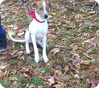 Jack Russell Terrier/Australian Shepherd Mix Puppy for adoption in Hampton, Virginia - Sinatra