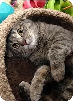 Domestic Shorthair Cat for adoption in Hillside, Illinois - Lila