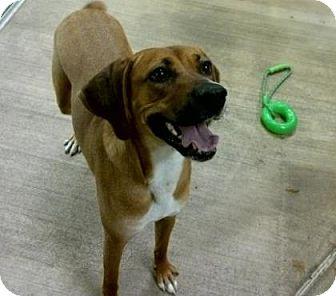 Boxer/Rhodesian Ridgeback Mix Dog for adoption in Parma, Ohio - AJ