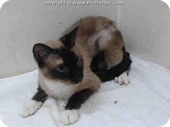 Snowshoe Cat for adoption in Sarasota, Florida - Chuckey