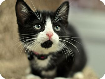 Domestic Shorthair Kitten for adoption in Great Falls, Montana - spook