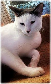 Domestic Shorthair Cat for adoption in Huntington, New York - Scottsdale