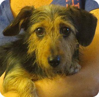 Dachshund Dog for adoption in Greenville, Rhode Island - Annalise