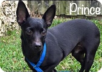 Manchester Terrier/Schipperke Mix Dog for adoption in Homestead, Florida - Prince aka Lil' Dude