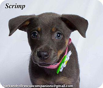 Terrier (Unknown Type, Medium) Mix Puppy for adoption in Baton Rouge, Louisiana - scrimp