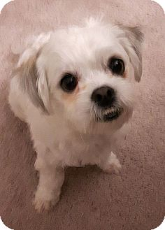 Maltese Mix Dog for adoption in Toronto, Ontario - Bruce