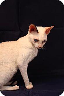 Cornish Rex Cat for adoption in Tucson, Arizona - Sorpori