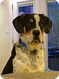 Bluetick Coonhound/Labrador Retriever Mix Puppy for adoption in Virginia Beach, Virginia - Otto Von Bismarck