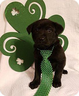 Labrador Retriever Mix Puppy for adoption in Newark, Delaware - Chief