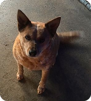 Blue Heeler Dog for adoption in Corona, California - Red Munchkin, Urgent Situation