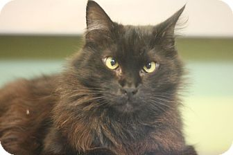Domestic Longhair Cat for adoption in Canoga Park, California - Jazie