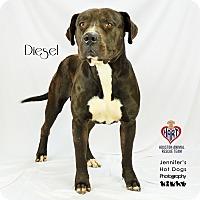 Adopt A Pet :: Diesel - Tomball, TX