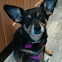 Adopt A Pet :: Marsha - Barrington Hills, IL